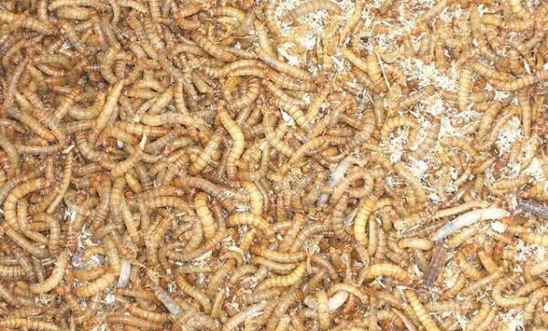 Разведение мучных червей