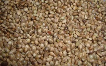 Семена конопли для рыбалки