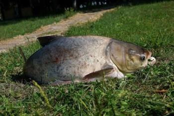 Ловля толстолоба на поплавок