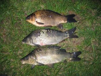 гибриды рыб