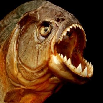 Хищные - мирные рыбы каннибалы