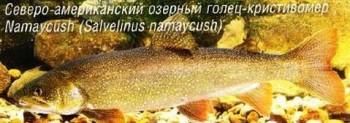 СЕВЕРО-АМЕРИКАНСКИЙ ГОЛЕЦ-КРИСТИВОМЕР (NAMAYCUSH)