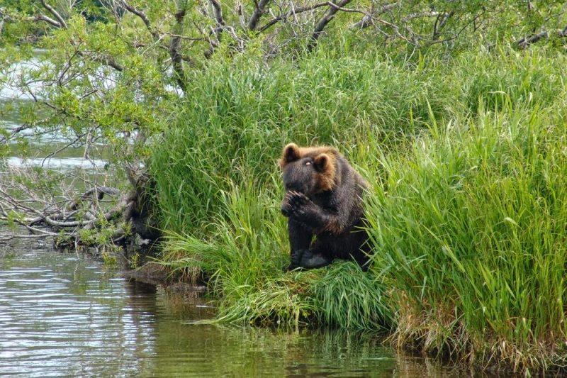Медведь стисняется