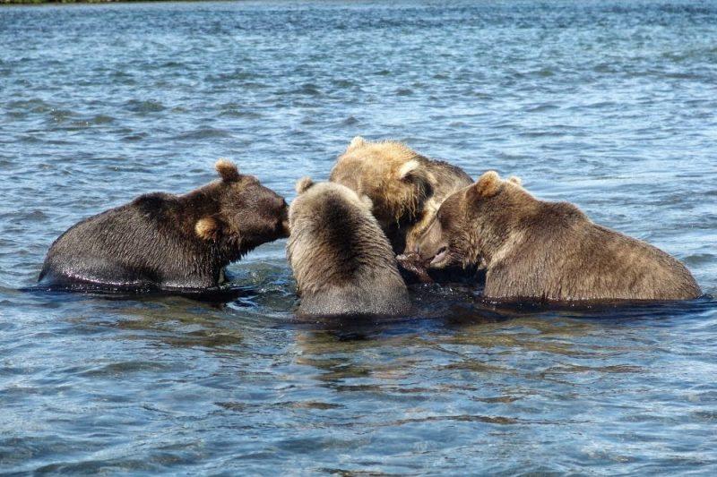 магадан медведи на рыбалке