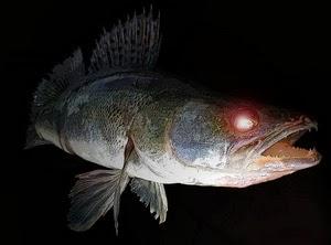 Ловля судака ночью, Все о ловле рыбы