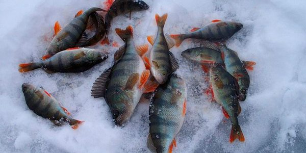 for-perch-fishing-in-winter