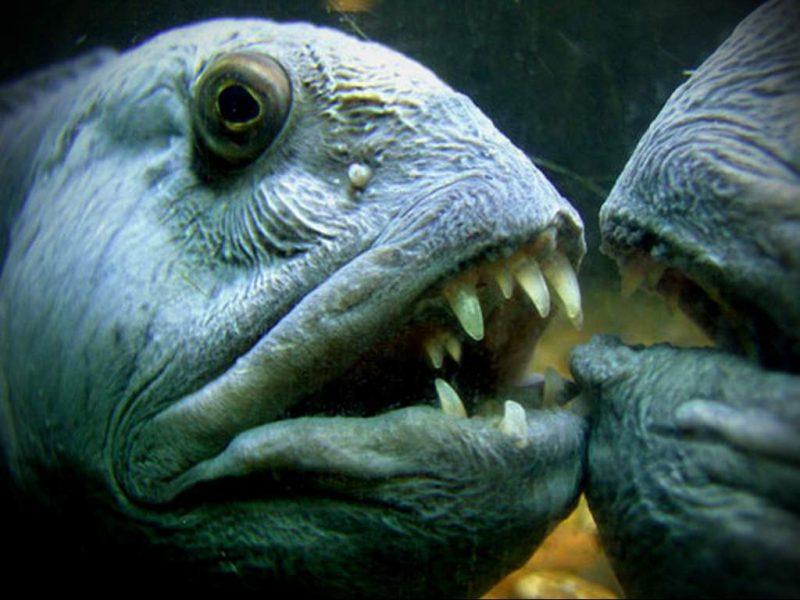 sinjaja-zubatka-obitatelnica-severnyh-morej-i-okeanov-animal-reader.-ru-
