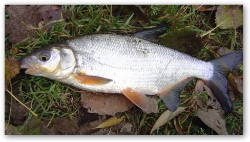 Ловля рыбца спиннингом