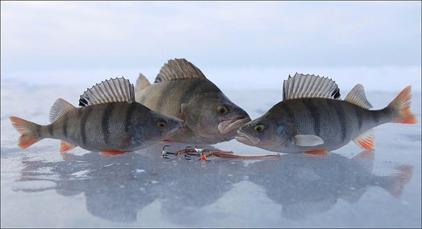 Зимняя ловля крупного окуня на больших реках