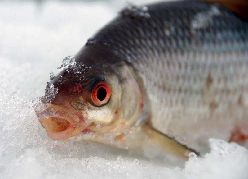 Ловля плотвы зимой на Финском заливе