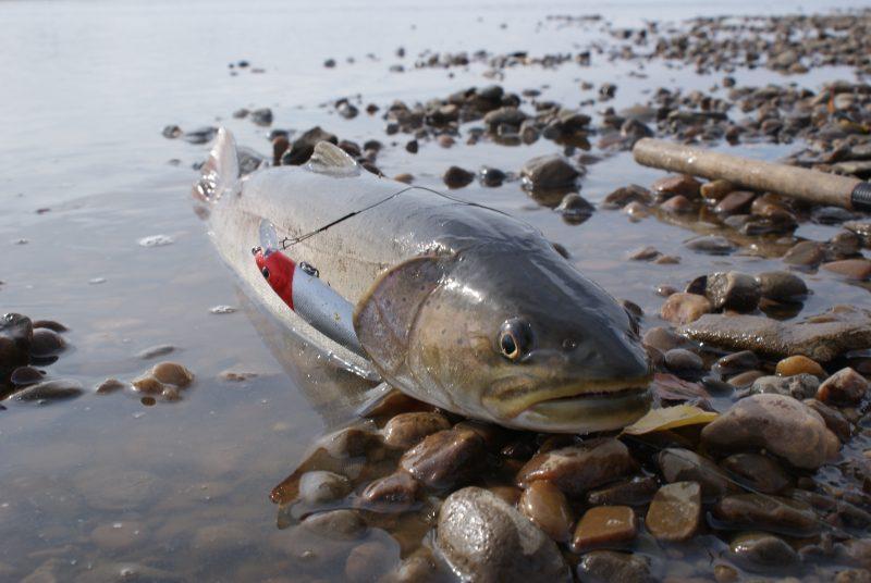 Ловля тайменя на реках Сибири