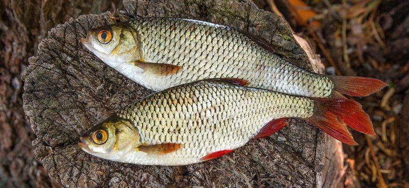 5 советов для ловли потрясающей рыбы – красноперки