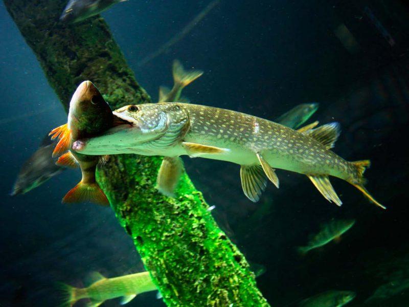Питание рыб и работа их органов чувств