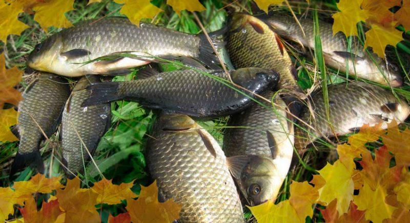 Несколько рецептов прикормок для осенней ловли карася
