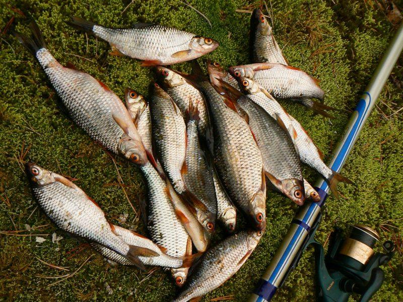 Снасти для ловли плотвы летом