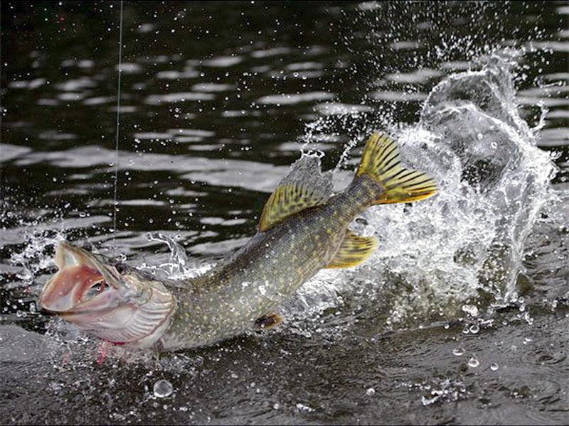 Несколько советов для ловли щуки в закрытых водоемах