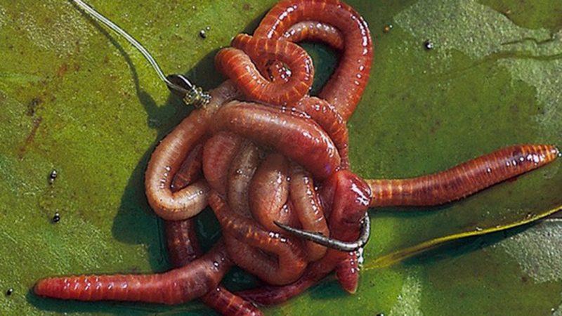 Как насаживать и ловить на пучок червей