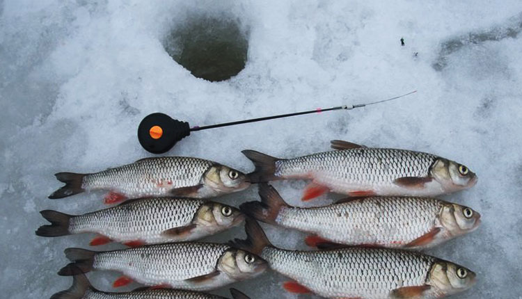 Голавль зимой. Наживки и приманки для ловли