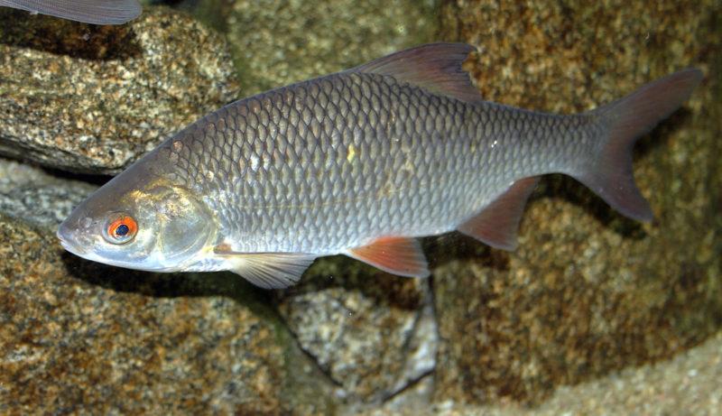 Плотва: среда обитания, питание, размножение