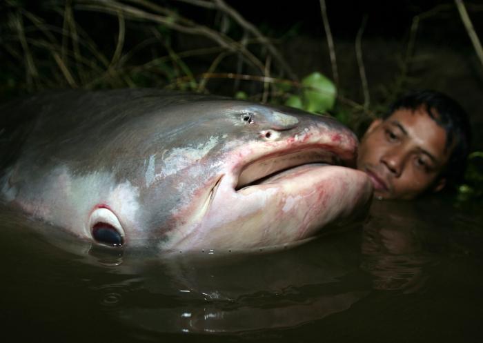ТОП - 5 крупнейших пресноводных рыб, обитающих в водах Таиланда
