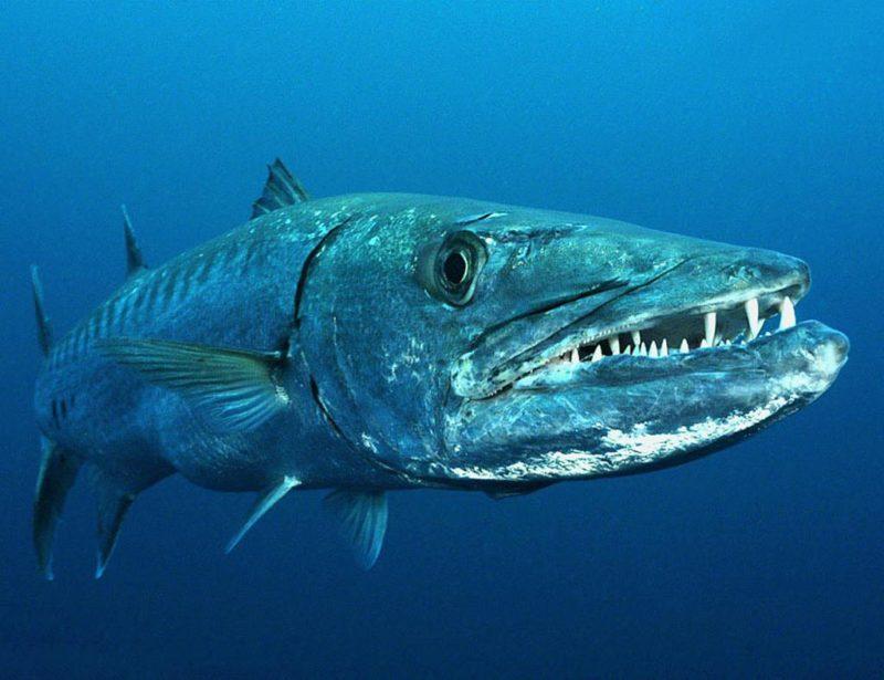 Топ 5 крупнейших морских рыб Таиланда