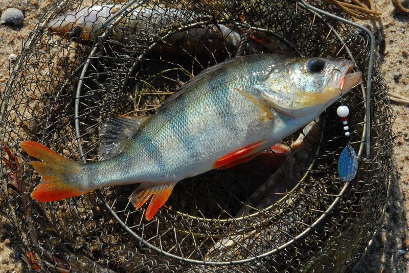 Вертушки и отводной поводок: снасти для ловли окуня ранней весной