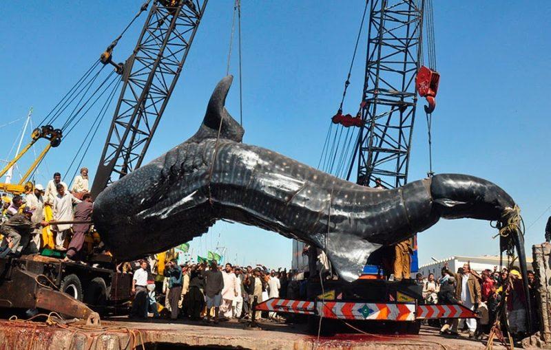 Самые большие акулы пойманные человеком