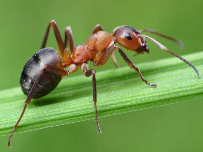 Лесной муравей – насадка для ловли рыбы