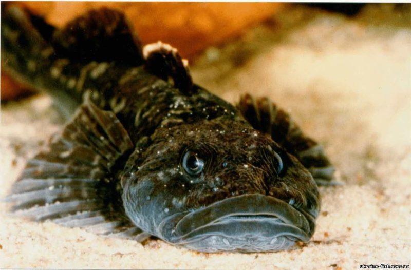 Бычок: особенности рыбалки