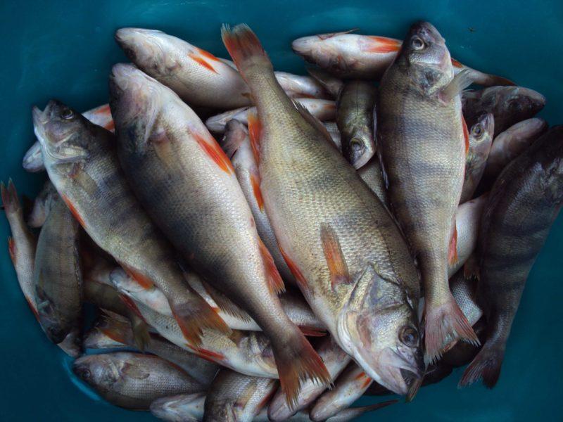 Окунь. Быстрая чистка рыбы