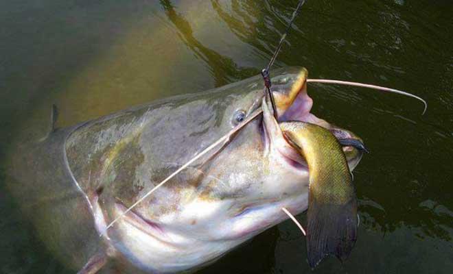 Ловля сома на живца. Важные нюансы для результативной рыбалки