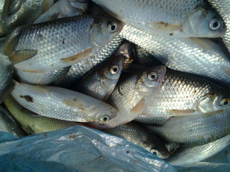 Вобла в Астраханской области: особенности рыбалки