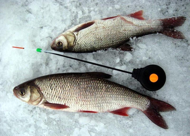 Ловим язя со льда. Эффективная тактика рыбалки