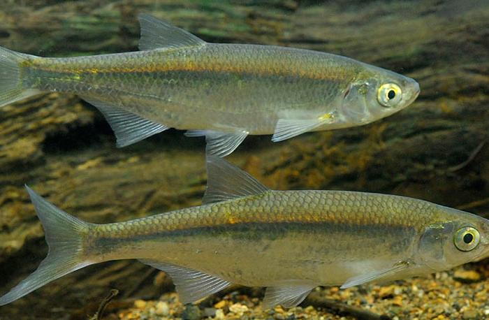 Уклея (уклейка), особенности этой распространенной рыбы