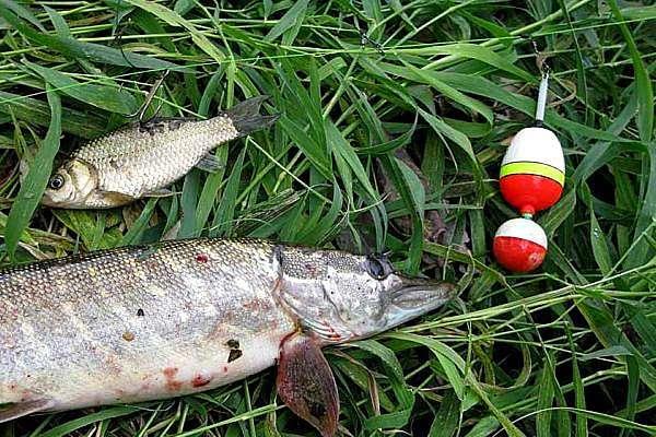 Летняя рыбалка. За щукой с поплавком