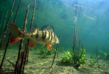 окунь рыбинка