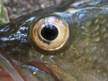 Сенсорные системы рыб зимой