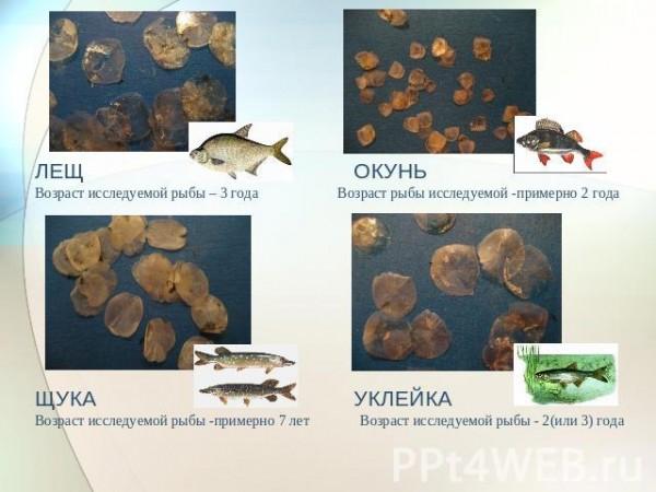 Как узнать возраст рыбы?
