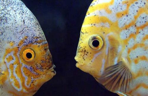 Общение рыб с помощью звуков