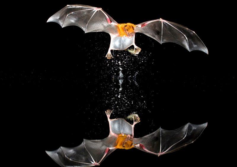 Летучая мышь ловит рыбу
