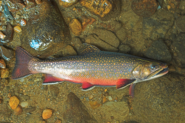 brook_trout2