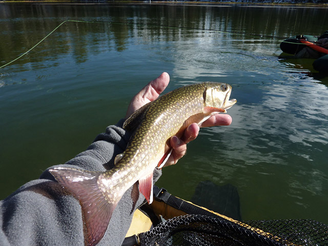 brook_trout5