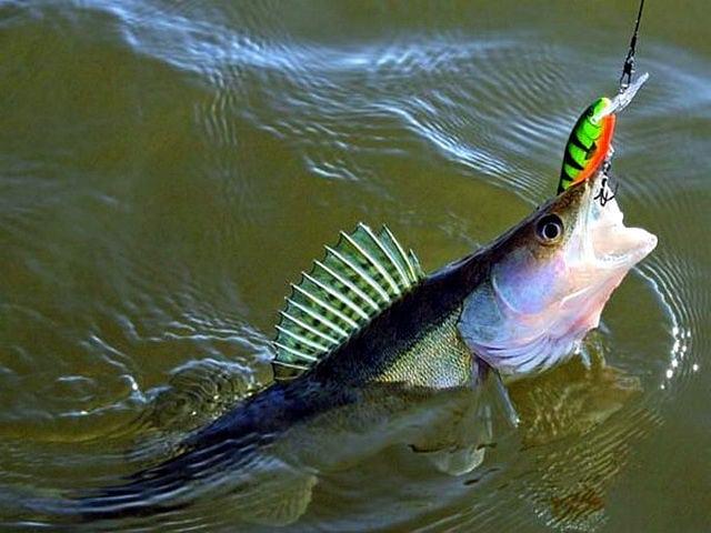 Рыбалка на судака: тонкости лова и виды блесен