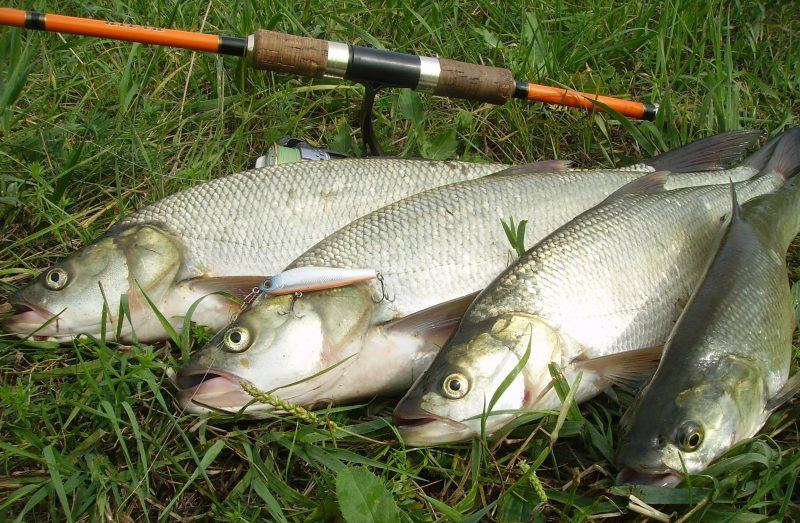 Маленькие тонкости ловли жереха на маленькой реке