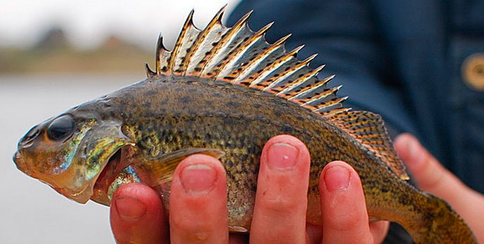 Рыбалка на ерша, советы и рекомендации
