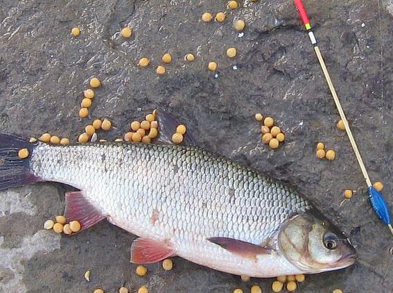 Ловля рыбы на горох