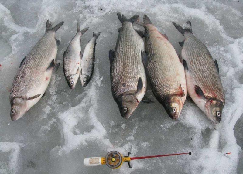 Зимняя рыбалка на сига
