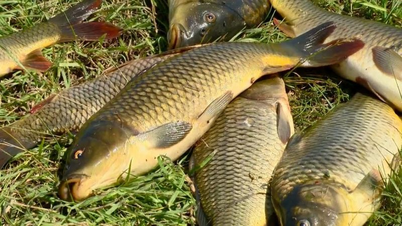 Ловля карповых рыб на камыш