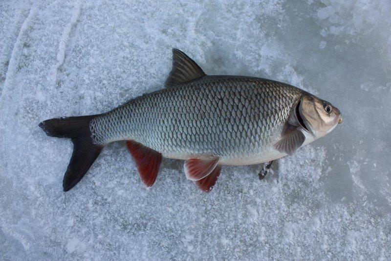 Зимняя рыбалка на язя
