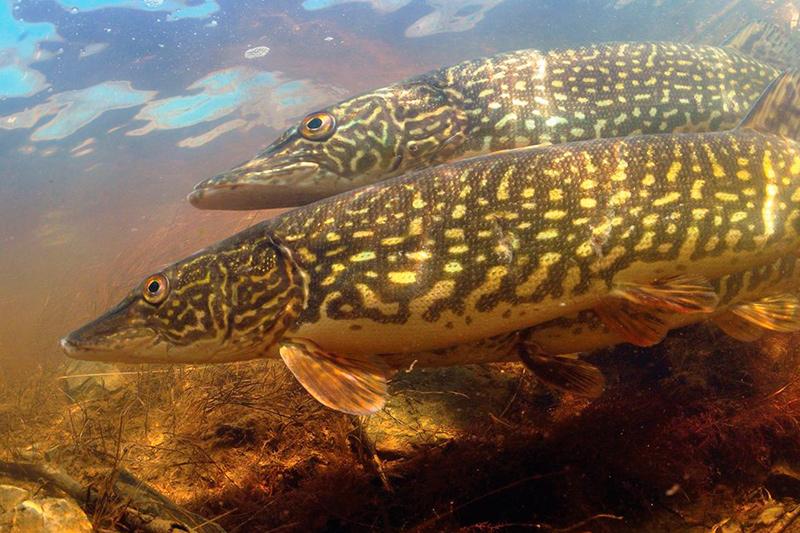 Влияние термоклина на поведение рыб